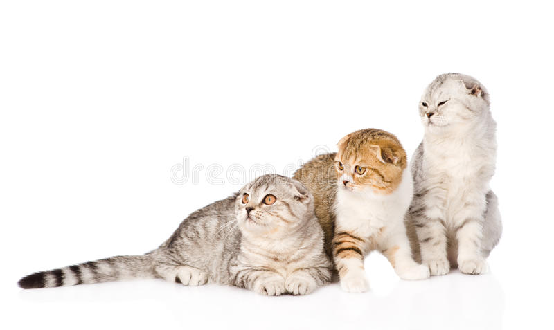 一起看三只垂耳苏格兰的猫  查出 免版税图库摄影