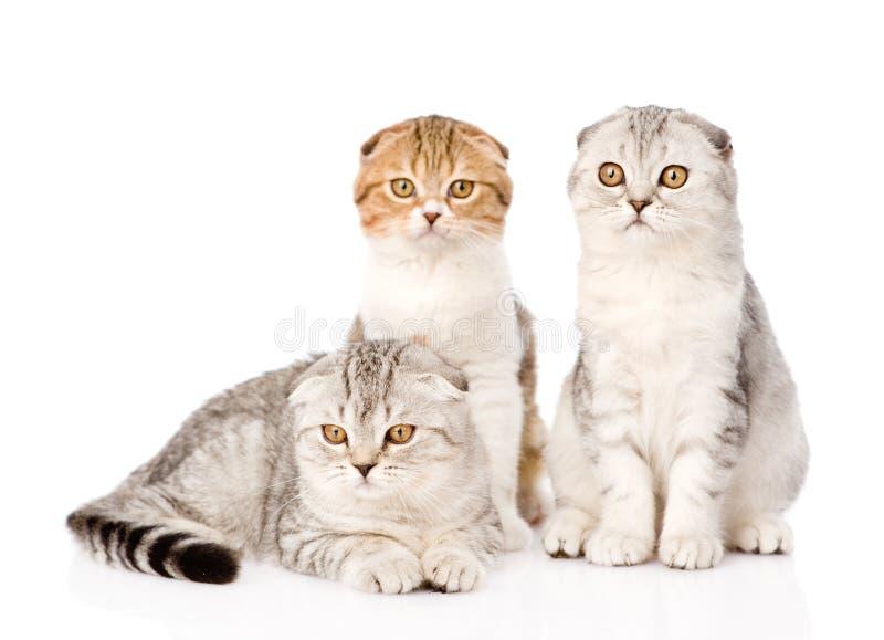 一起看照相机的三只垂耳苏格兰猫 在白色 库存图片
