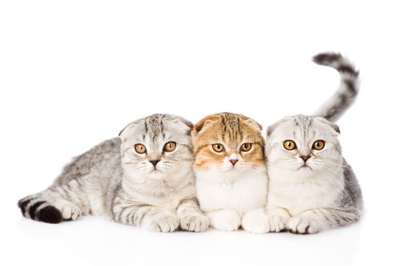 一起看照相机的三只垂耳苏格兰猫 查出 免版税库存照片