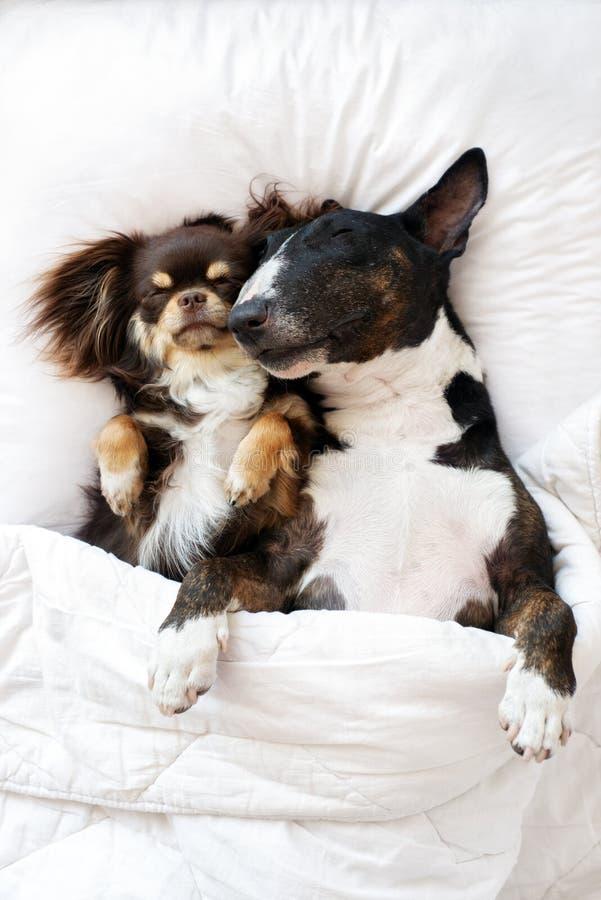 一起睡觉在床上的两条可爱的狗 免版税库存照片