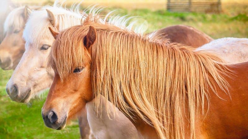 一起站立一个小组美丽的冰岛的马 免版税库存图片