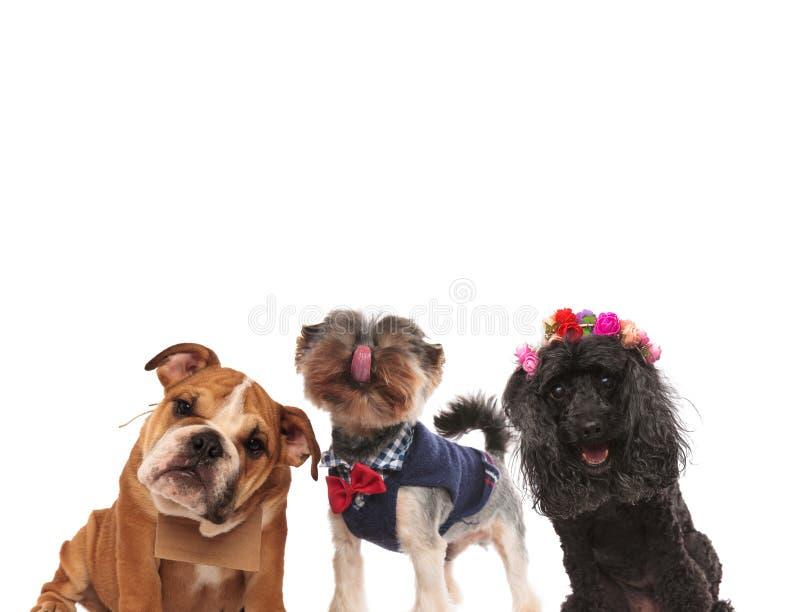 一起站立三条可爱的小狗 免版税库存照片