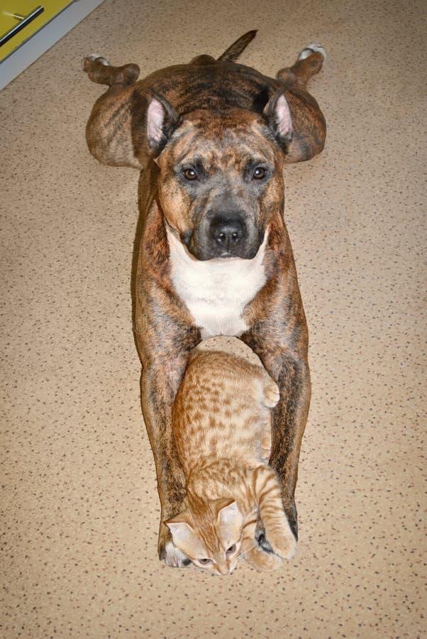 一起红色狗和猫谎言在地板上 动物友谊 图库摄影