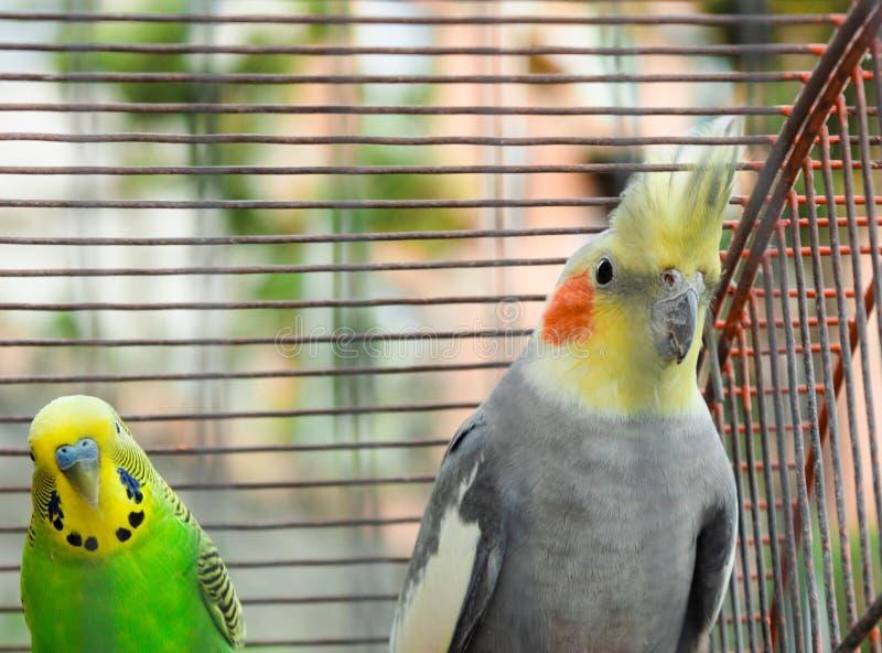 一起美冠鹦鹉和长尾小鹦鹉 免版税库存照片