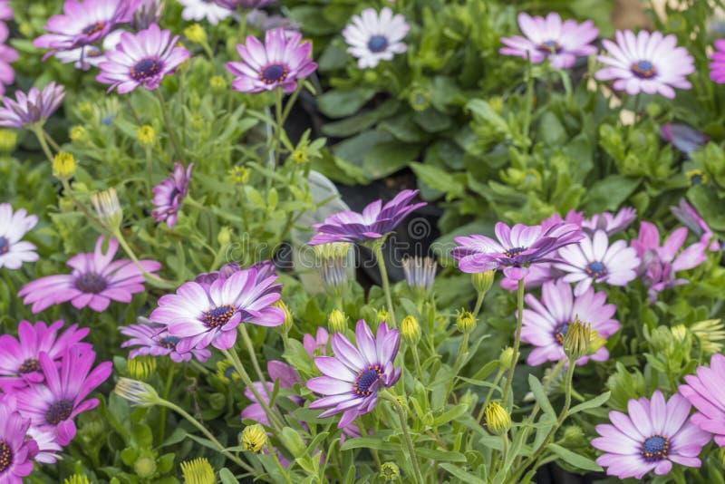 一起许多美丽的紫色花 图库摄影