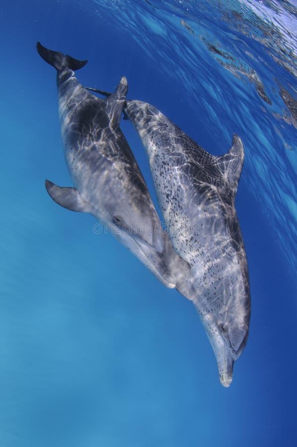 一起跳舞在巴哈马的清楚的水域的中对逗人喜爱的海豚 库存图片