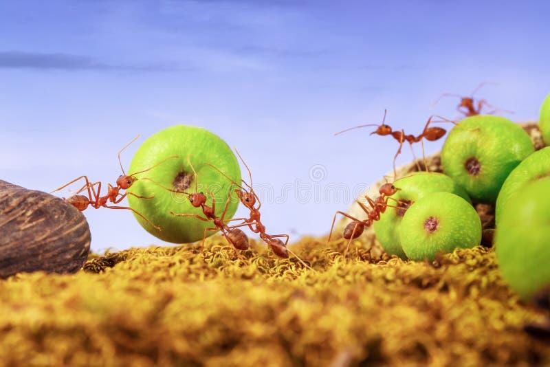 一起运载食物的蚂蚁 免版税库存图片