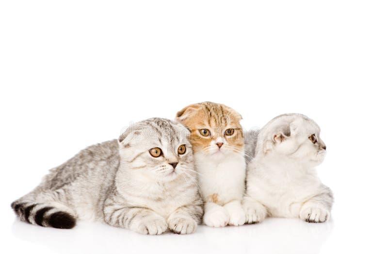 一起说谎三只垂耳苏格兰的猫 查出在白色 库存图片