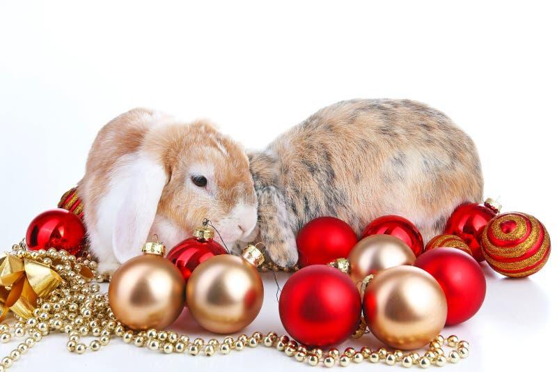 一起Lop和兔子 动物朋友 兄妹竞争兔子兔宝宝宠物白狐rex缎真正活砍widder nhd 库存照片