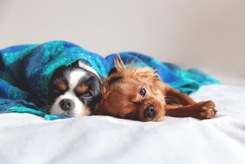 一起sleepeing在毯子下的两条狗 免版税库存图片