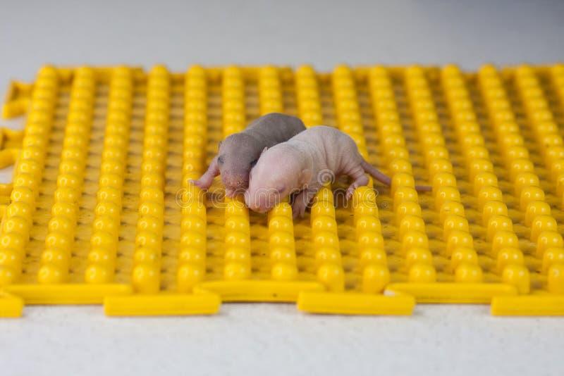 一蹶不振的概念 在黄色背景的新生儿鼠 免版税图库摄影