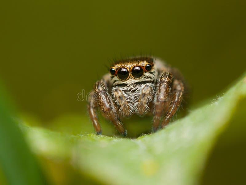 一逗人喜爱的跳跃的蜘蛛Evarcha falcata 免版税图库摄影
