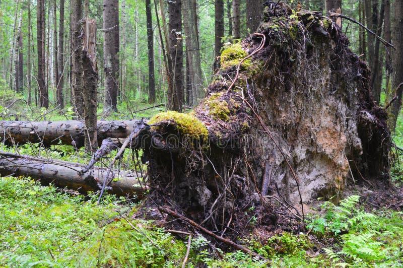 一道闪电打破的树在密集的森林里 库存照片