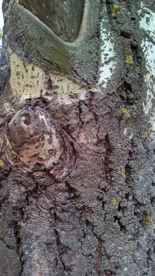 一部分特写镜头的一棵老白杨树的树干 免版税库存照片