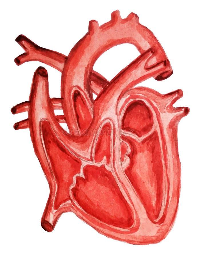 一部分的人的心脏 女主持人 扩张和收缩 填装和抽人的心脏结构解剖学水彩 向量例证