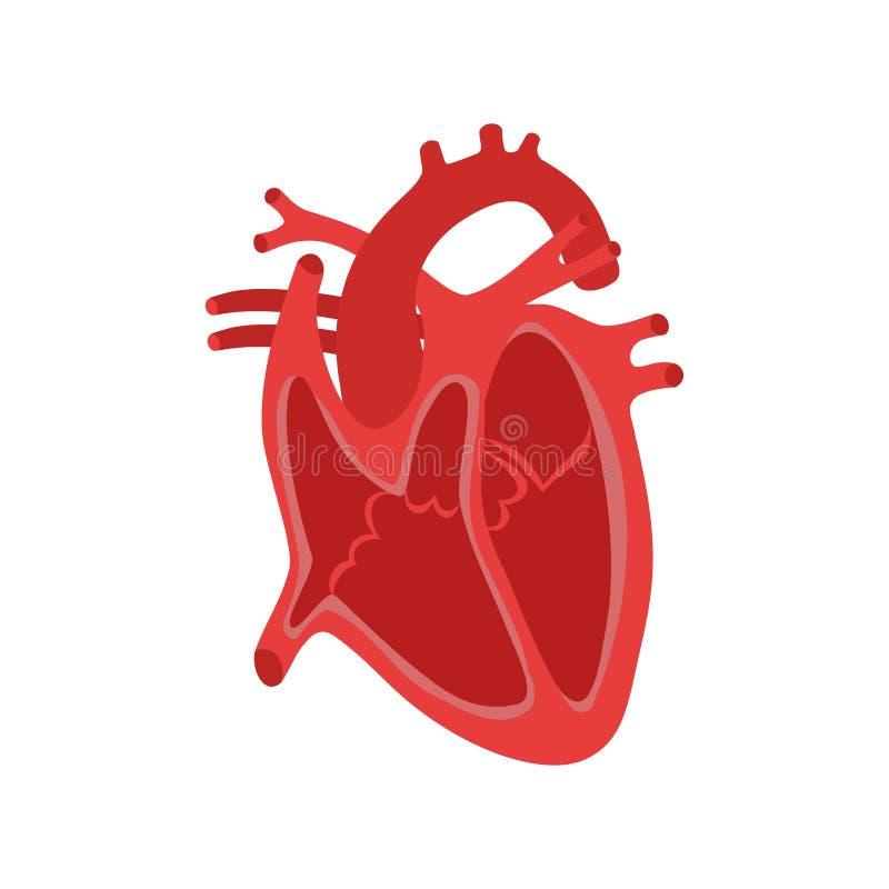 一部分的人的心脏 女主持人 扩张和收缩 填装和抽人的心脏结构解剖学解剖图 向量例证