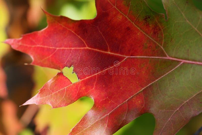 一部分的多色橡木叶子在秋天森林里 免版税图库摄影
