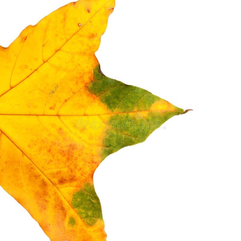 一部分的秋天被染黄的枫叶 图库摄影