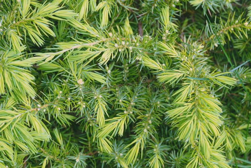 一针叶树芹叶钩吻canadensis的年轻绿色针 图库摄影