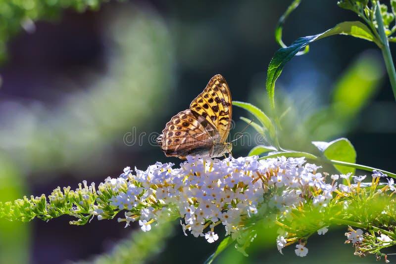 一银被洗涤的贝母蝴蝶Argynnis paphia的侧视图特写镜头 库存照片