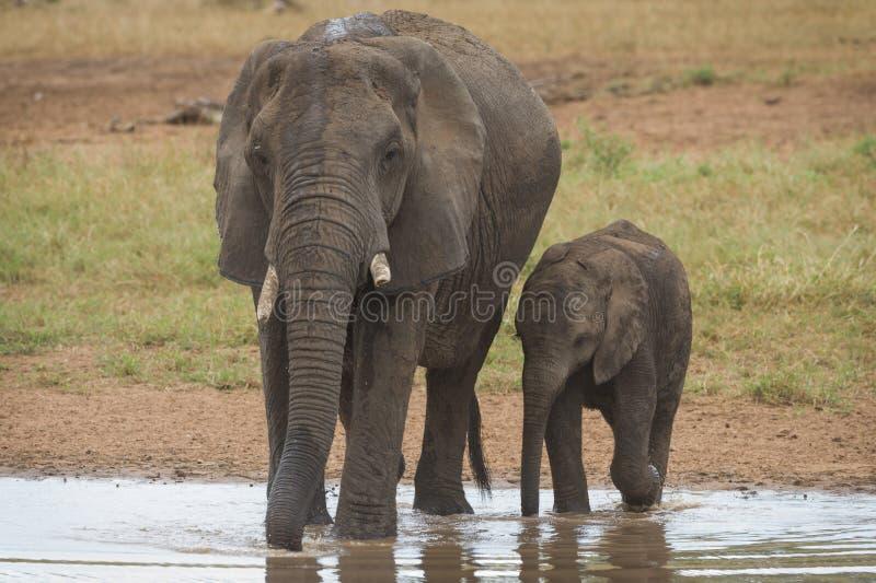 一非洲大象母牛和小牛喝 免版税图库摄影