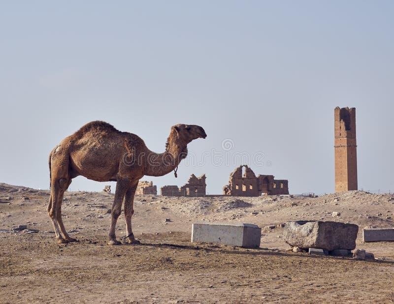 一骆驼和最旧的大学remainings在阿朗 库存图片