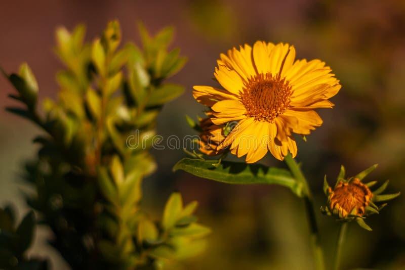 一黄色开花的错误向日葵葵花的五颜六色的室外花卉宏观图象 免版税库存照片