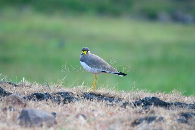 一黄色wattled田凫在草原 库存图片