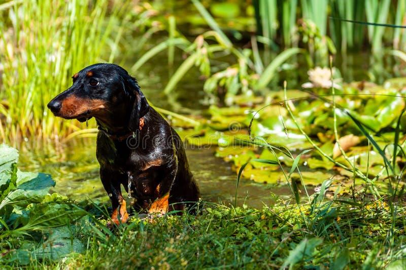 一黑湿达克斯猎犬狗离开有荷花的池塘 免版税库存图片