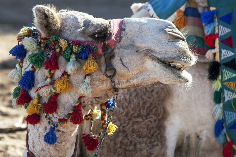 一头五颜六色装饰的骆驼在服装Sohel Nubian村庄在埃及的阿斯旺地区放松 免版税库存照片