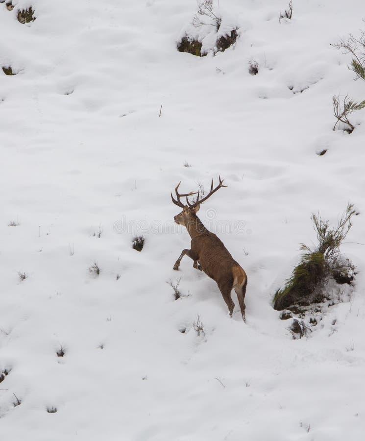 在奔跑的公鹿 免版税库存图片