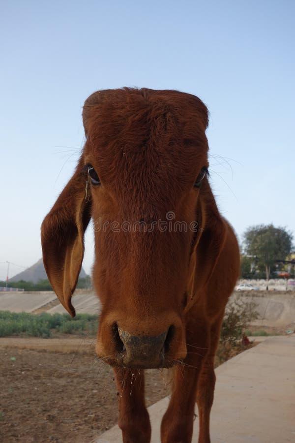 一头哀伤的小牛的画象 免版税图库摄影