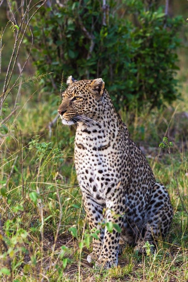 一头坐的豹子的画象 mara马塞语 免版税库存图片