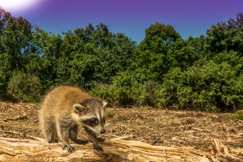 一头失去的小浣熊 免版税库存图片