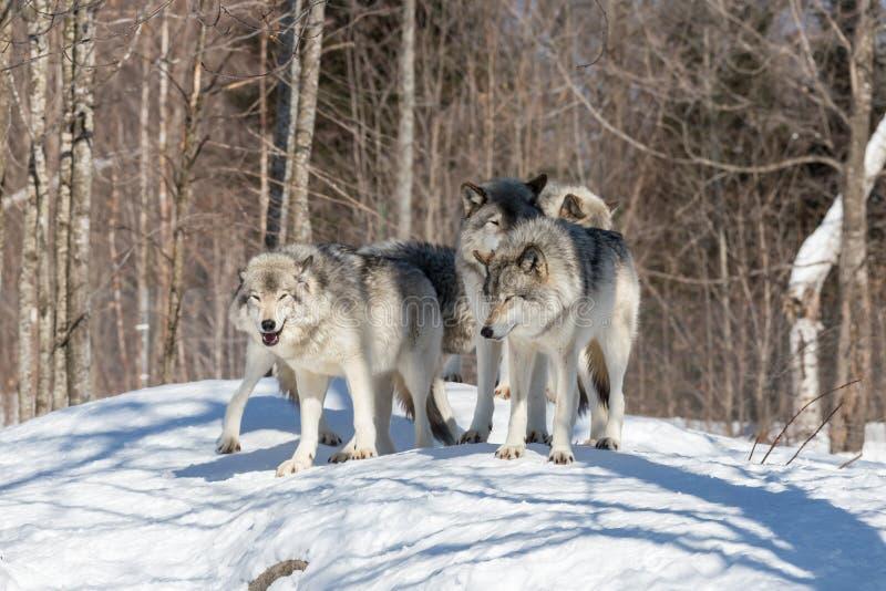 一头孤立北美灰狼在冬天 库存图片