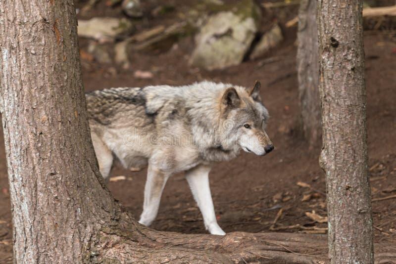一头孤立北美灰狼在森林里 库存照片