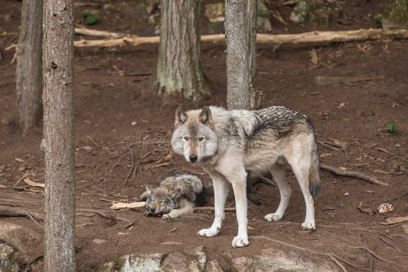 一头孤立北美灰狼在森林里 免版税库存图片