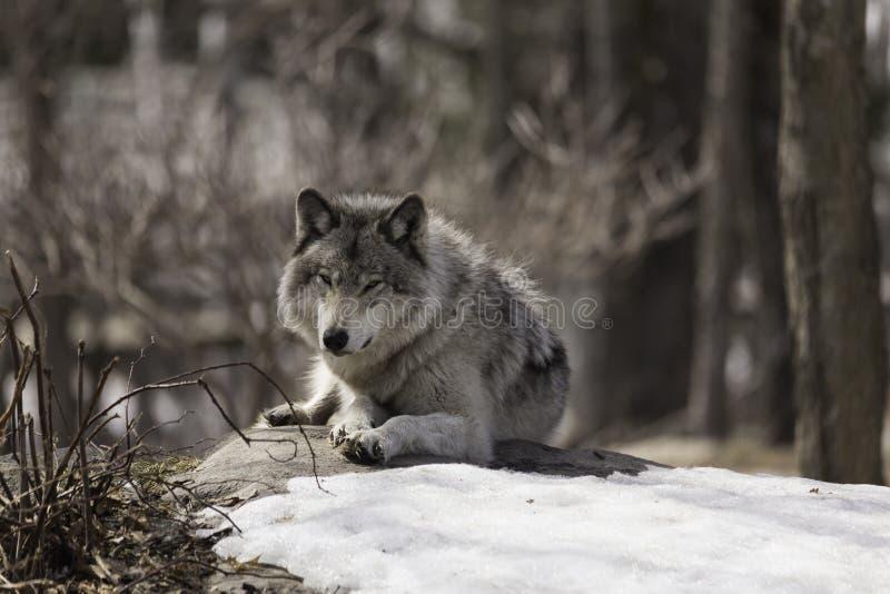 一头孤立北美灰狼 免版税库存图片