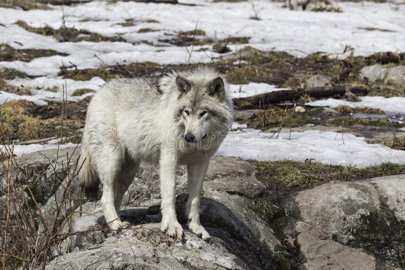 一头孤立北美灰狼 图库摄影