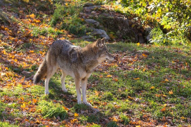 一头孤立土狼在森林里 库存图片