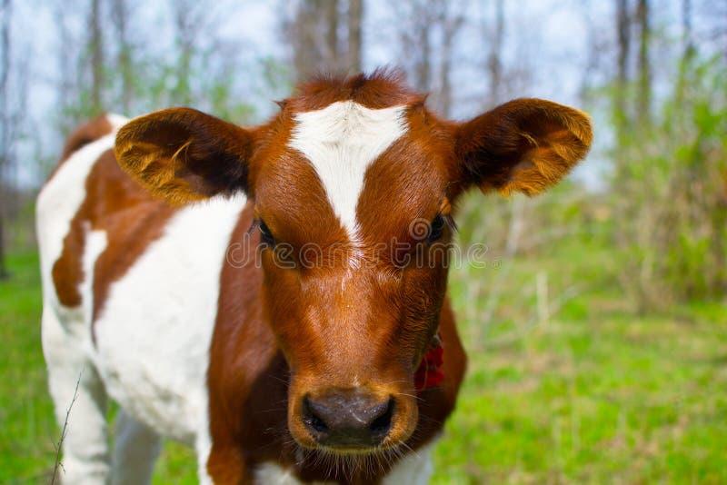 幼小小牛 免版税库存照片
