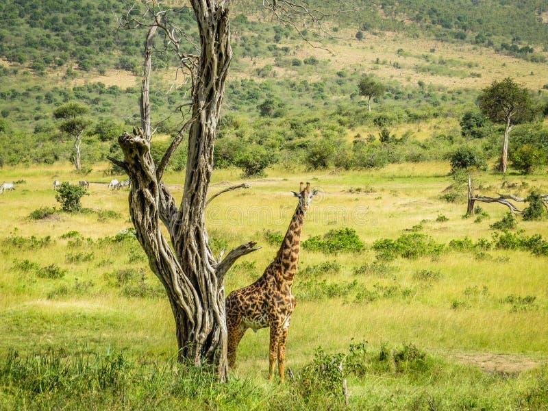 一头想法的长颈鹿 免版税库存图片