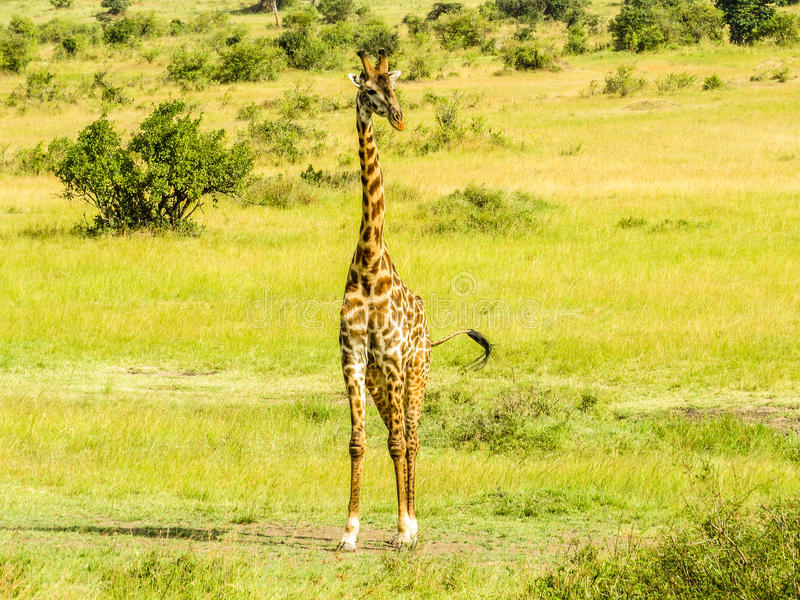 一头想法的长颈鹿 免版税库存照片