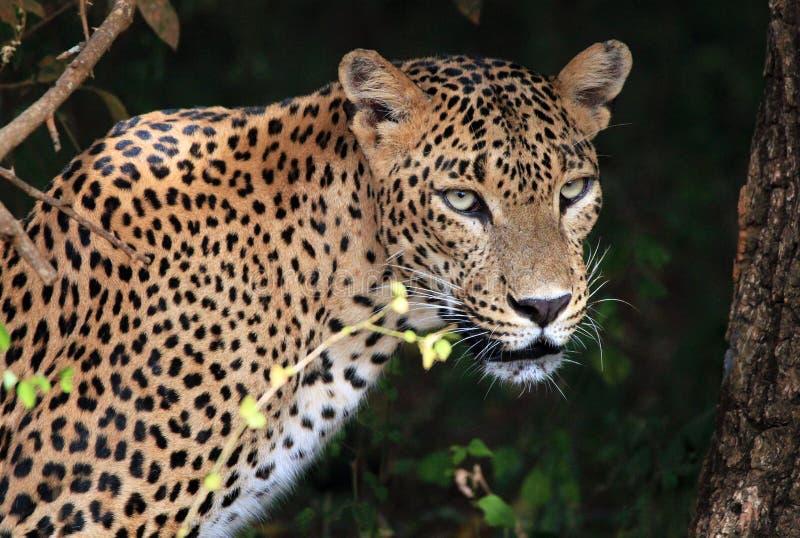 一头斯里兰卡的豹子的画象 库存照片