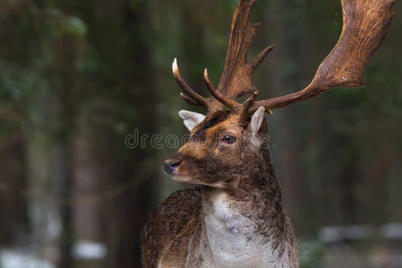 一头棕色公鹿的特写镜头的冬天射击与大分支的垫铁的反对森林背景 免版税库存图片