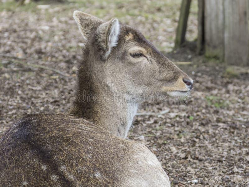 一头母小鹿的特写镜头 免版税库存图片