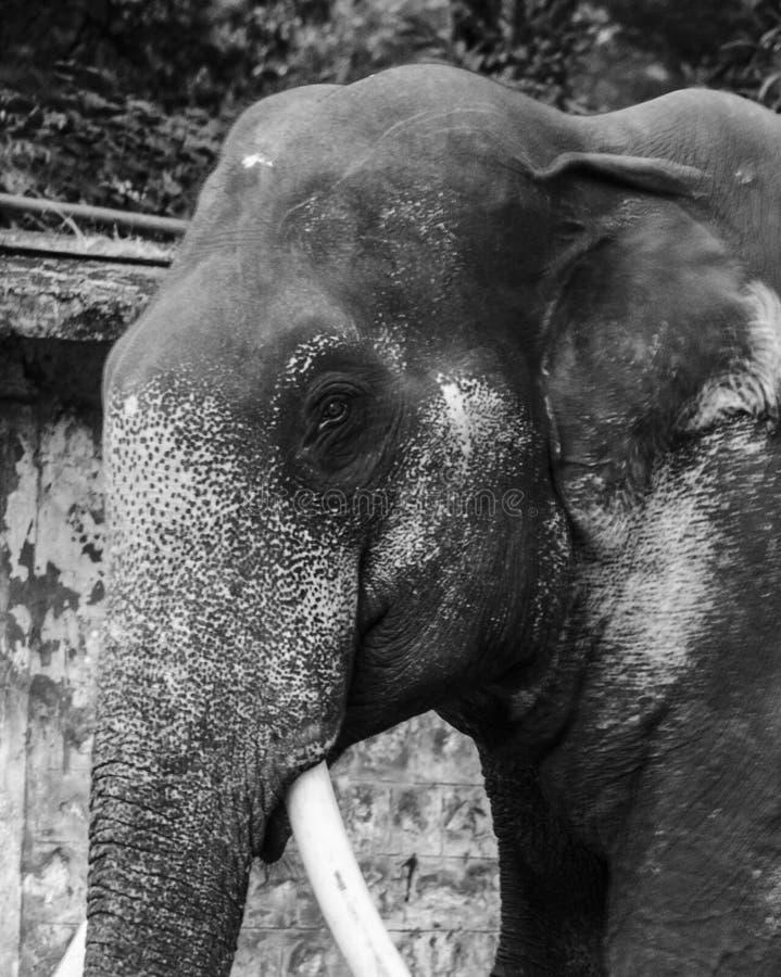 一头男性亚洲大象的黑白图象 免版税库存图片
