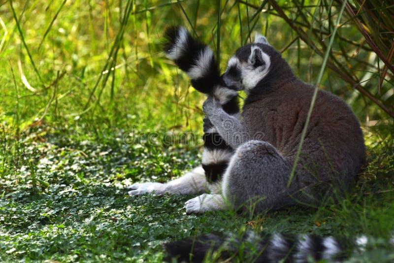 一滑稽的lemure 库存照片