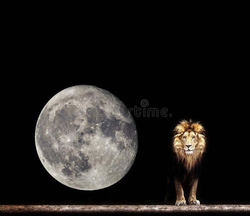 一头美丽的狮子的画象,在黑暗的狮子 库存图片