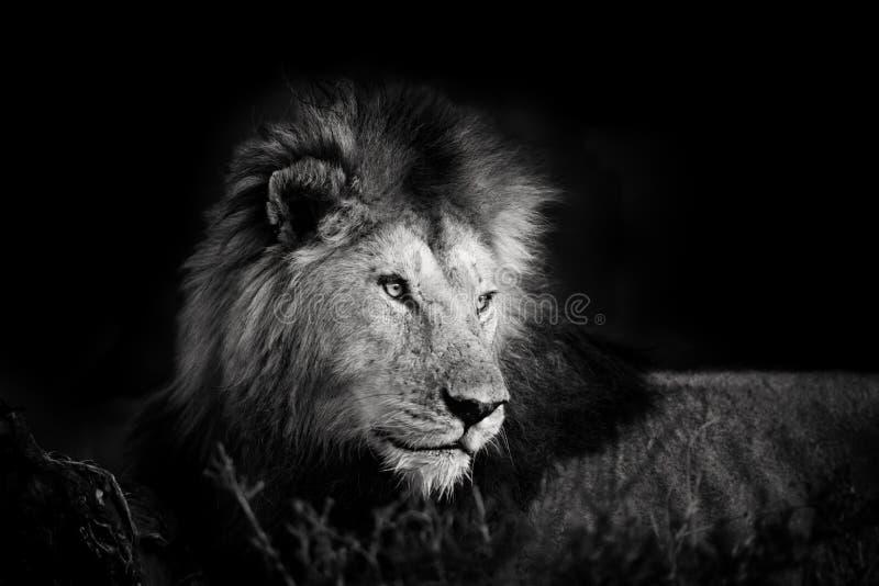 一头美丽的狮子的画象从四个步兵的马塞语的玛拉 免版税库存照片